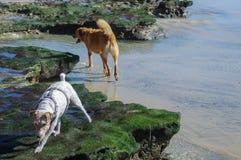 Hundkapplöpning som undersöker lyckligt tidvattens- tips royaltyfria bilder