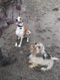 Hundkapplöpning som väntar på en fest Fotografering för Bildbyråer
