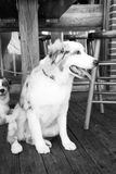 Hundkapplöpning som vilar på trägolv i Key West, USA Arkivbild