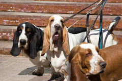 Hundkapplöpningbassethund på en koppel Royaltyfri Bild