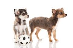 Hundkapplöpningchihuahua som isoleras på vit bakgrundsfotboll Arkivbilder