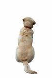 Hundkapplöpningen drar tillbaka Royaltyfria Foton