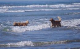 Hundkapplöpningen för hög energi spelar i havet på hundstranden arkivfoto