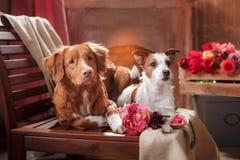 Hundkapplöpningen Jack Russell Terrier och den hundNova Scotia Duck Tolling Retriever ståenden dog att ligga på en stol i studion royaltyfri bild