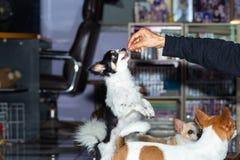 Hundkapplöpningen ser mat, hand för att mata hunden, Två-lagd benen på ryggen hund arkivbild