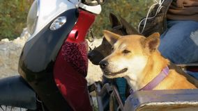 Hundkapplöpningen sitter i en släp av en thailändsk motorcykel med en sittvagn askfat långsam rörelse arkivfilmer
