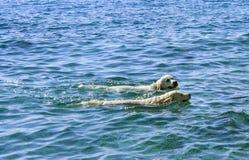 Hundkapplöpningen tycker om att simma i havet Arkivfoton
