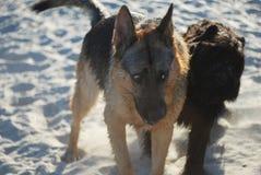 Hundkapplöpningförälskelse Royaltyfri Foto