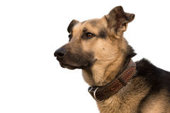 Hundkapplöpninghuvud Royaltyfria Bilder
