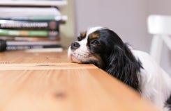 Hundkapplöpninghuvud på tabellen Royaltyfria Foton