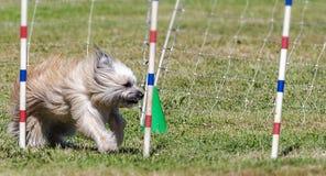 Hundkapplöpningkonkurrens Arkivfoton