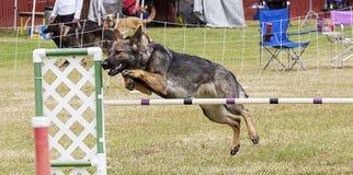 Hundkapplöpningkonkurrens Arkivbild