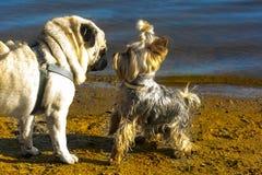 Hundkapplöpningmops och york arkivbilder