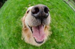 Hundkapplöpningmunslutet med ögon öppnar upp royaltyfri bild