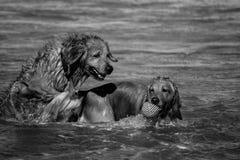 Hundkapplöpningplayings i havet Arkivbild