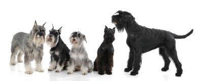Hundkapplöpningterrier Royaltyfri Bild