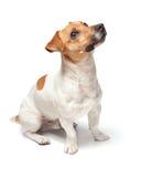 Hundkapplöpningvalp som isoleras på vit bakgrund stålarrussell terrier Arkivfoton