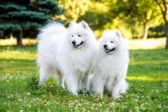 Hundkapplöpning för Samoyed två i parkera Arkivbilder