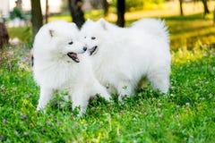 Hundkapplöpning för Samoyed två i parkera Royaltyfri Fotografi