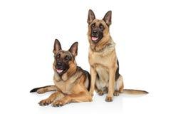 Hundkapplöpning för tysk herde på vit bakgrund Royaltyfria Bilder