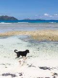 Hundkapplöpning som spelar i havet Royaltyfri Bild