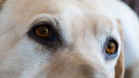 Hundkapplöpningbärnstenögon Royaltyfria Foton