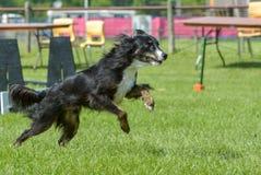 Hundkapplöpningshow Royaltyfri Bild