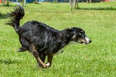 Hundkapplöpningshow Royaltyfri Fotografi