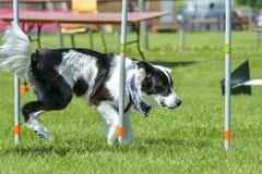 Hundkapplöpningshow Arkivfoto