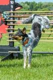 Hundkapplöpningshow Royaltyfri Foto