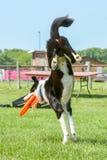 Hundkapplöpningshow Fotografering för Bildbyråer