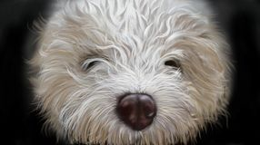 Hundlagottoromagnoli Arkivbilder