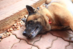Hundleende Arkivfoto
