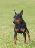 hundminiature för clipping 3d över white för skugga för banapinscherframförande Royaltyfri Foto