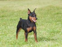 hundminiature för clipping 3d över white för skugga för banapinscherframförande Royaltyfria Bilder