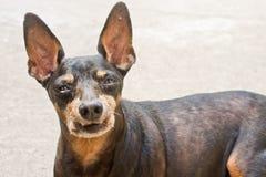 hundminiature för clipping 3d över white för skugga för banapinscherframförande Royaltyfri Fotografi