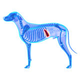 Hundmjälte - Canis Lupus Familiaris Anatomy - som isoleras på vit royaltyfria bilder
