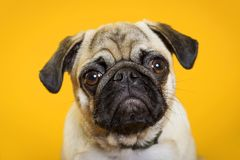 Hundmops på en gul bakgrund arkivbild