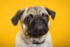 Hundmops på en gul bakgrund arkivfoton