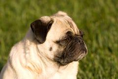hundmopssun Arkivfoto