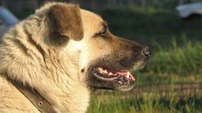 Hundnärbild Fotografering för Bildbyråer