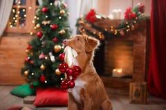 HundNova Scotia Duck Tolling Retriever ferie, jul fotografering för bildbyråer