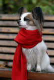 hundpapillon Royaltyfria Bilder