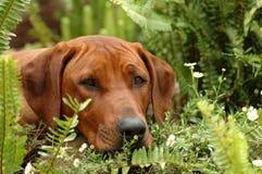 hundpeekaboo Royaltyfri Fotografi