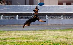 Hundpinscher, der über die Diskette (Frisbee, springt) Stockfotos