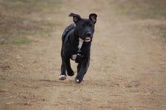 hundpitbullterrier Royaltyfri Fotografi
