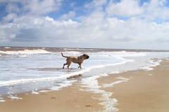 Hundplayng på stranden Arkivbilder