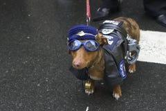 hundpolis Fotografering för Bildbyråer