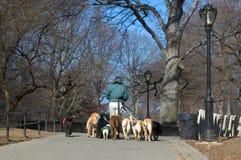 hundprofessionellfotgängare Arkivfoto