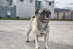 Hundpug geht draußen Gehen auf das Sportfeld stockfoto